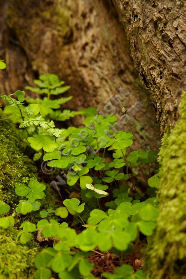 Wood sorrel - details on Doon Hill