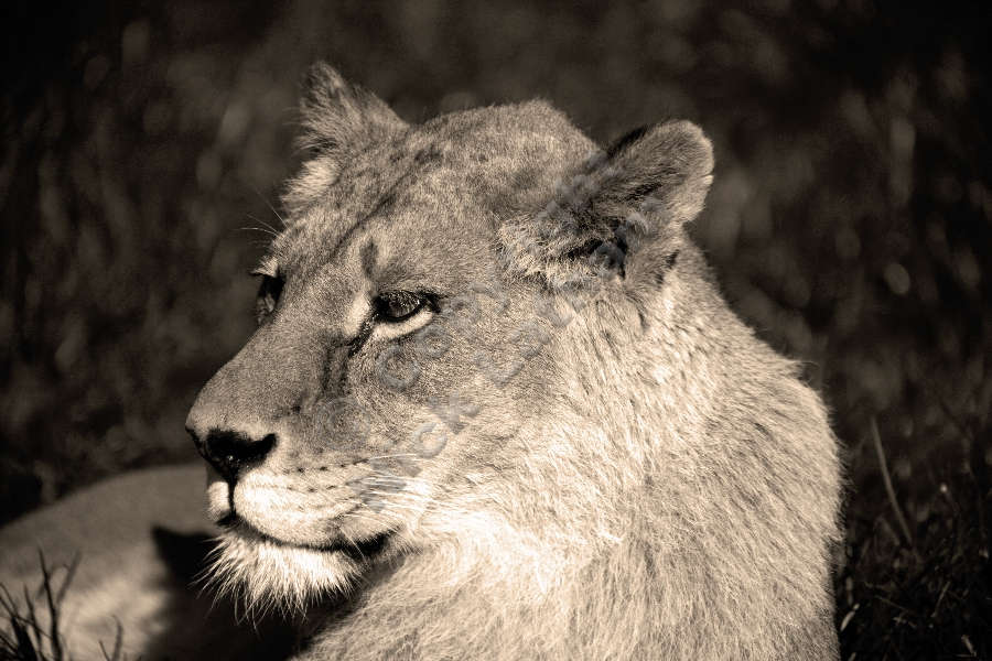 Lioness - Imperious