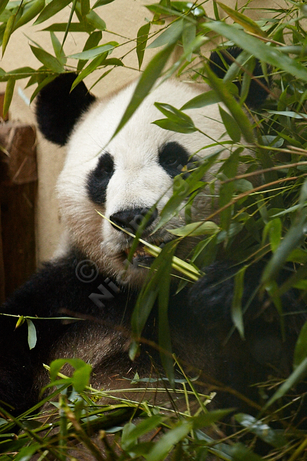 Edinburgh Zoo Pandas - Yang Guang