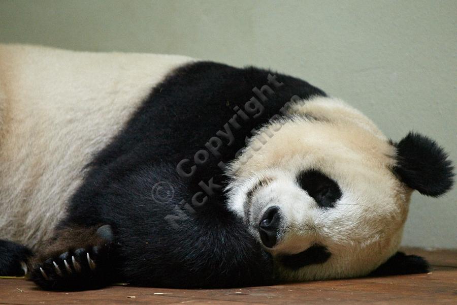 Edinburgh Zoo Pandas - Tian Tian
