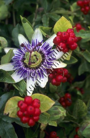 white purple garden exotic foliage climber plant