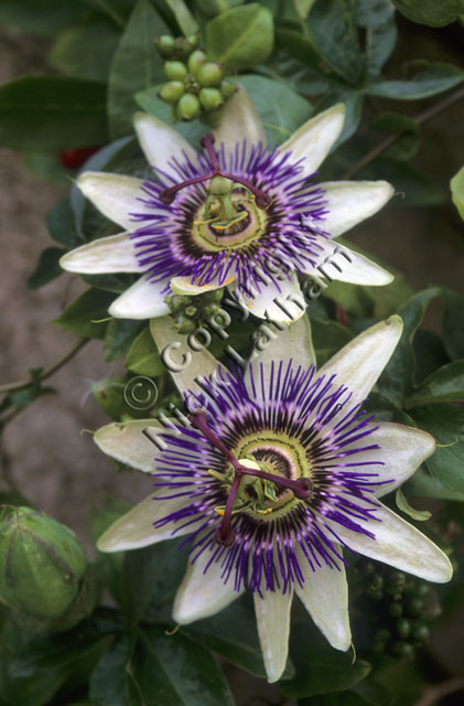 white purple garden exotic foliage plant climber