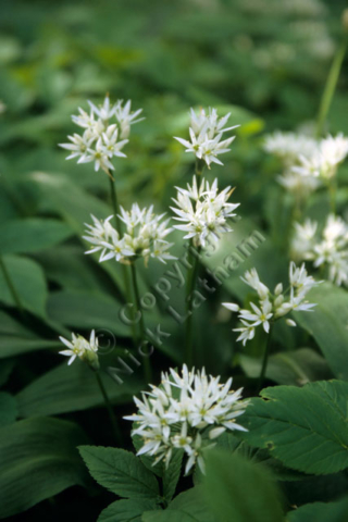wild flower spike bud woodland wood leaf foliage smell spring white native British