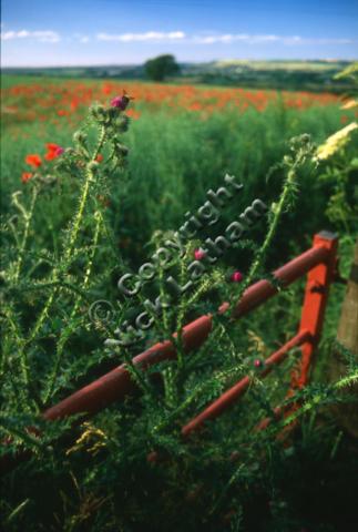 poppy gate field landscape summer sunny farm farming thistle hedgerow native