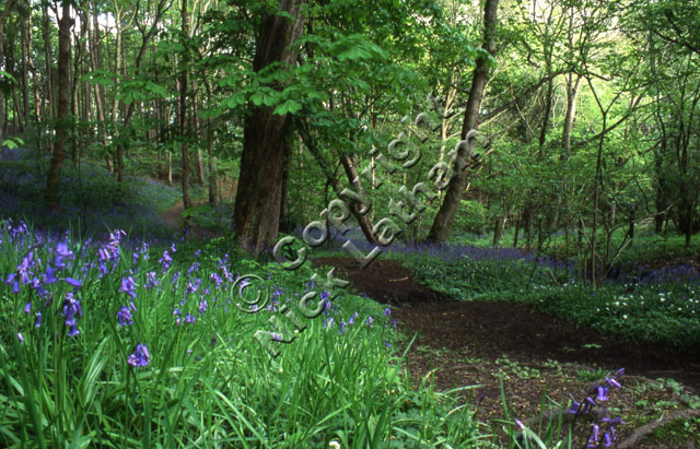 Durham Blaid's Wood spring deciduous broad-leaf foliage carpet wild flower tree nature