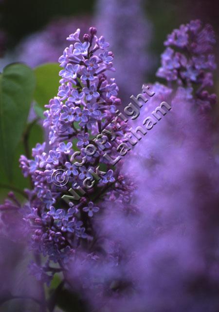 flower purple shallow depth-of-field blur foliage plant shrub garden