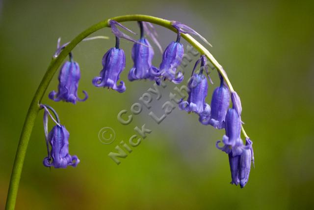 woodland plant flower UK England native spring foliage curve