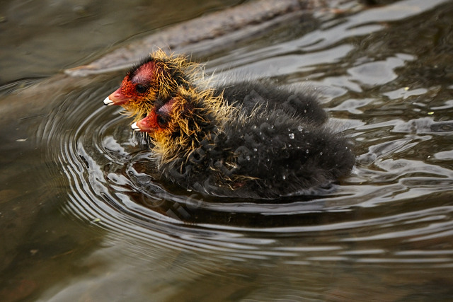 two birds baby black red beak orange feathers down plumage brood water pond ripple