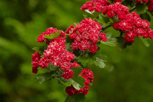 red midland hawthorn double flower blossom bush shrub hedge hedgerow green leaf UK Britain British native