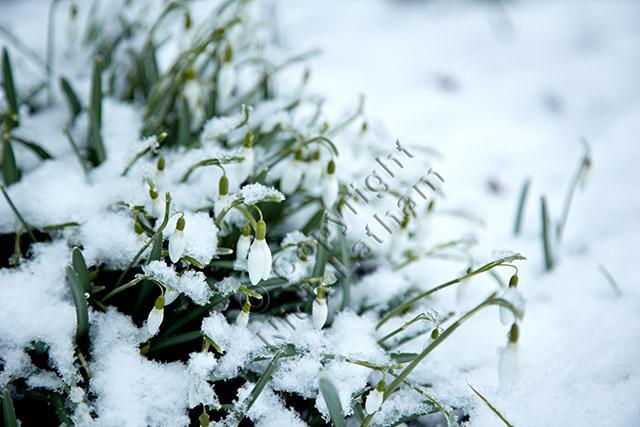 winter spring flowers bulb snow white green February