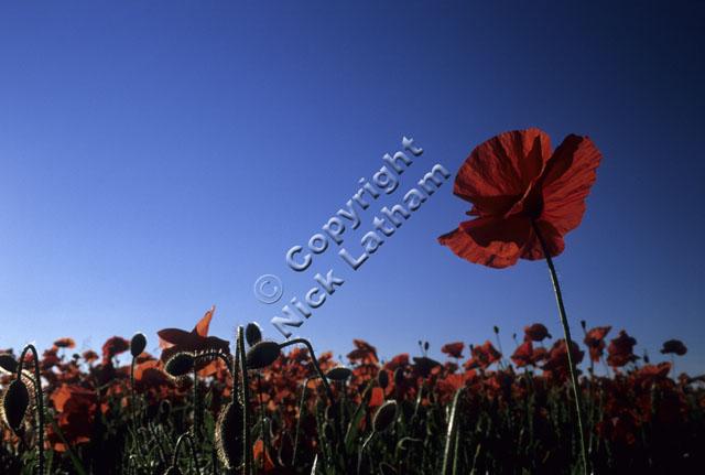 red poppy flower blue sky backlit Remembrance field sunny