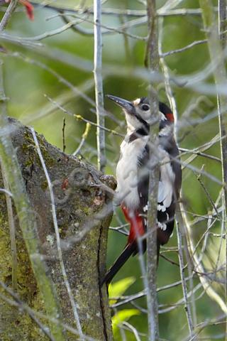 bird tree Dendrocopos major native UK England Britain protected wildlife red feather plumage wwodland shy