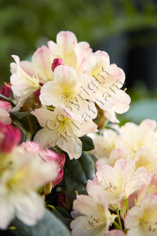flower blossom peach pink spring May evergreen shrub bush garden