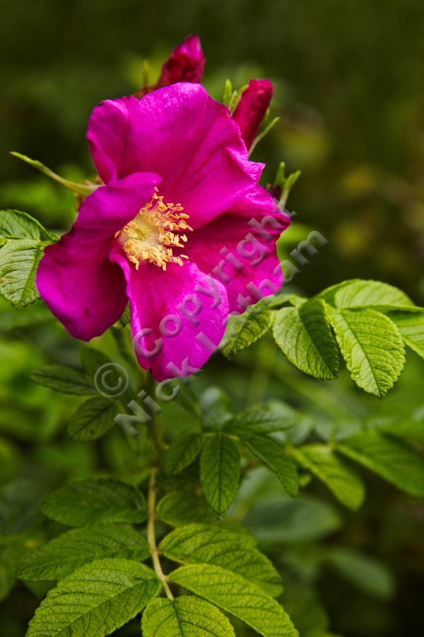 Dog rose - details near Doon Hill