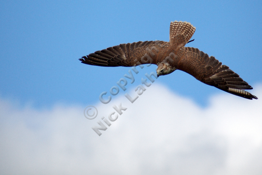 Saker Falcon in stoop