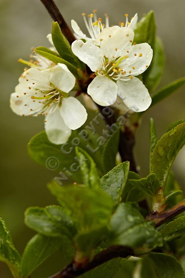 Blackthorn Blossom - 9 April 2012
