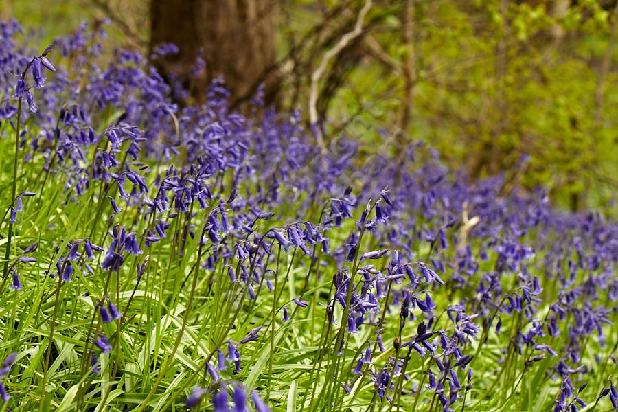 Common bluebell (Hyacinthoides non-scripta) - Blaid's Wood, 14 April 2012
