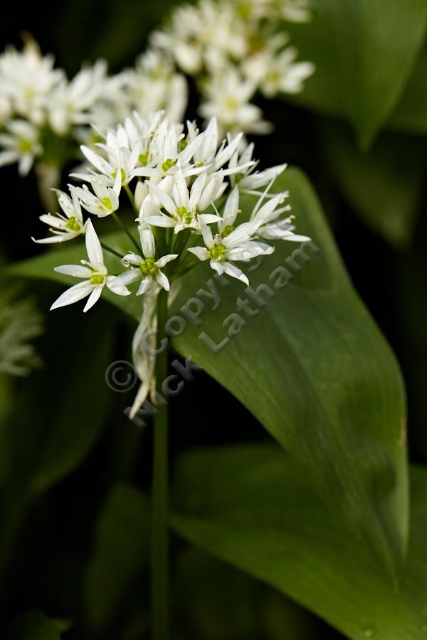 Wild garlic (Allium ursinium) - 14 April 2012