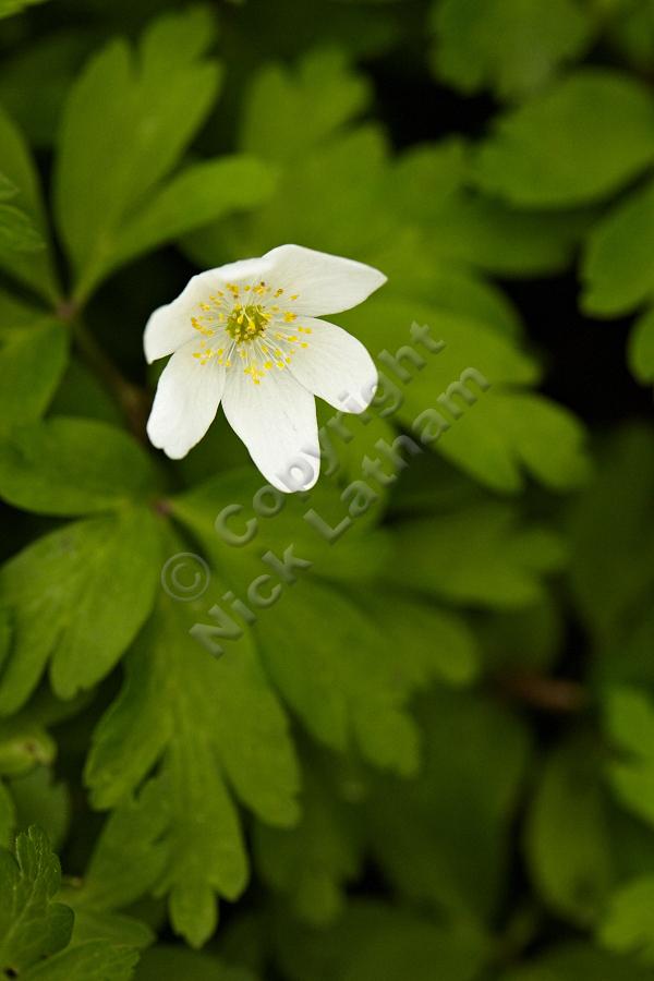 Wood Anemone (Anemone nemorosa) - 14 April 2012