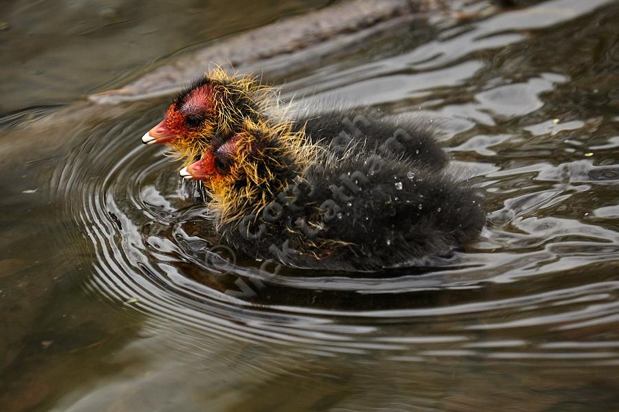 Coot (Fulica atra) chicks swimming, April 2012