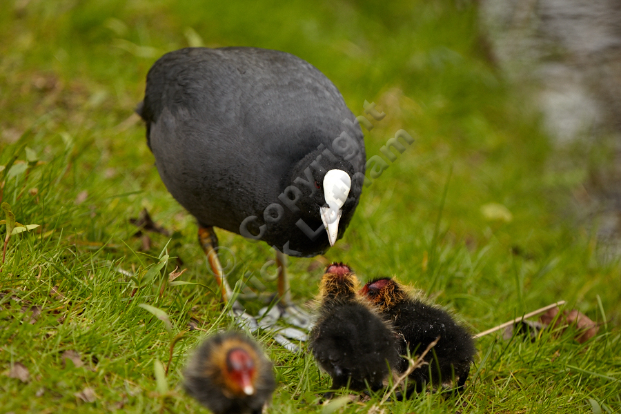 Adult coot (Fulica atra) feeding chicks, April 2012
