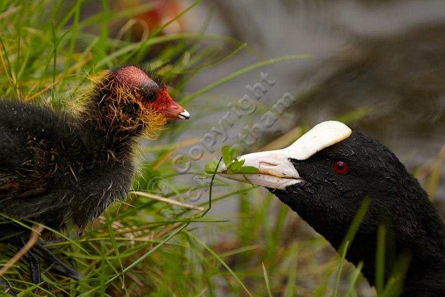 Adult coot (Fulica atra) feeding chick, April 2012