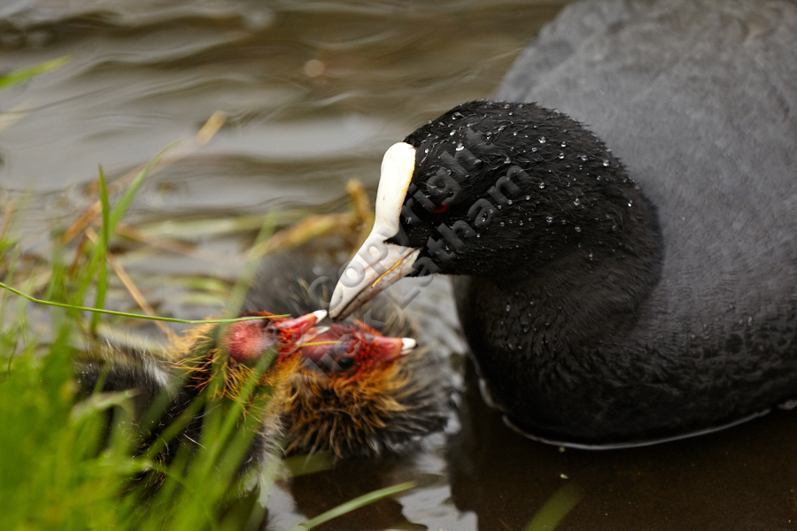 Adult coot (Fulica atra) feeding chicks on water, April 2012