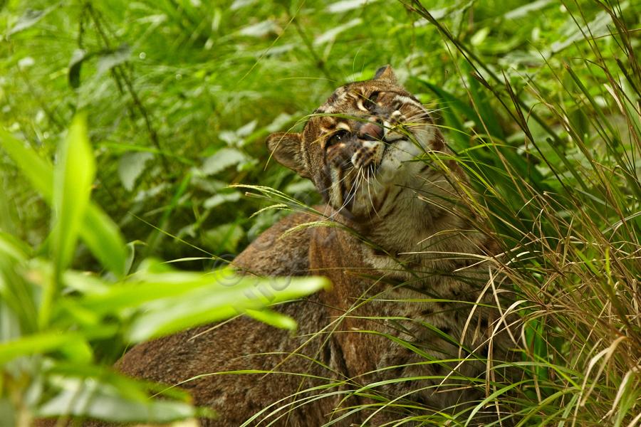 Edinburgh Zoo - Asian golden cat