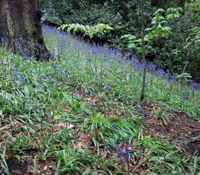 Durham bluebell update 2013