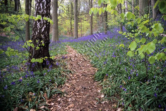 wood woodland path tree beech carpet spring British native flower wild